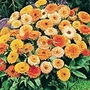 Calendula Fiesta Gitana Seeds (Scotch or Pot Marigold)