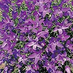 Campanula Tiny Bells Seeds (Bellflower)