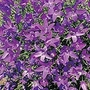 Campanula Tiny Bells Seeds