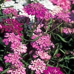 Candytuft Fairy Mix Seeds
