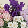 Canterbury Bell Cup and Saucer Mix Seeds (Campanula medium)