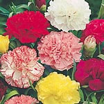 Carnation Chabaud Giant Mix Seeds