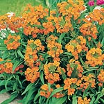 Wallflower Siberian Seeds