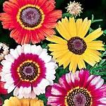 Chrysanthemum carinatum Sunshine Mix Seeds