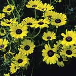 Chrysanthemum carinatum Bright Eyes Seeds