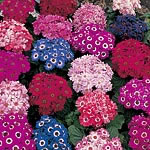 Cineraria Spring Glory Seeds