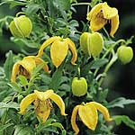 Clematis tangutica Pinwheel Seeds