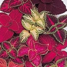Coleus Rainbow Mix Seeds