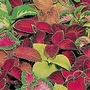 Coleus Wizard Mix Seeds