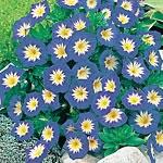 Convolvulus minor Blue Ensign Seeds