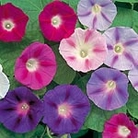 Convolvulus major Trumpet Mix Seeds