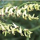Corydalis ophiocarpa Unicorn Seeds