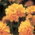 Coreopsis Early Sunrise Seeds