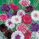 Cornflower Frosty Mix Seeds