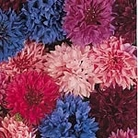 Cornflower Tall Tutu Mix Seeds