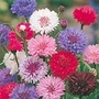 Cornflower Polka Dot Mix Seeds
