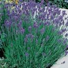 Lavender Munstead x 5 Plants