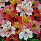 Spring Plants-Alstroemeria Planet Mixed - Pack of 10 Bareroot Plants