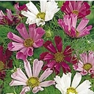 Cosmea Sea Shells Mix Seeds