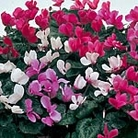 Cyclamen Sweet Scented Mix Seeds