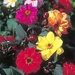 Dahlia Redskin Mix Seeds