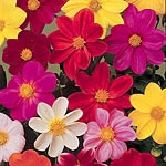 Dahlia Coltness Mix Seeds