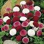 Daisy Pincushion Mix Seeds