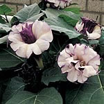 Datura Ballerina Mix Seeds