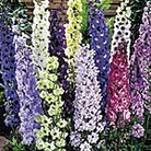 Delphinium Delight Mix Seeds