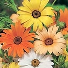 Dimorphotheca aurantiaca Summertime Mix Seeds