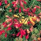 Chilean Glory Flower Tresco Hybrids Seeds