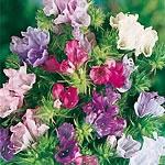 Echium Plantagineum Little Bells Mix Seeds