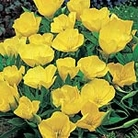 Evening Primrose Yellow Queen Seeds