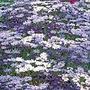Kingfisher Daisy Summer Melody Seeds (Felicia)