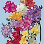Freesia Royals Mix (Tetrapoid) Seeds