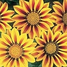 Gazania F1 Daybreak Red Stripe Seeds