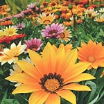 Gazania Super Hybrid Mix Seeds