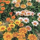 Gazania F1 Daybreak Tiger Stripe Mix Seeds