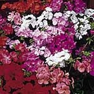 Geranium Capri Mix Seeds