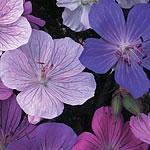 Geranium Colour Magic Seeds