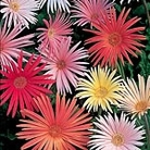 Gerbera Feisty Mix Seeds