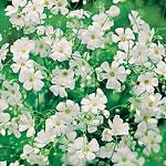 Gypsophila Covent Garden White Seeds