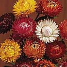 Helichrysum Forever Mix Seeds