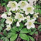 Christmas Rose Seeds