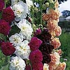 Hollyhock Chater's Mix Seeds