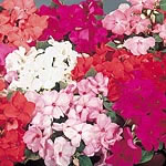 Impatiens sultani Candy Mix Seeds