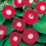 Ipomoea Crimson Rambler Seeds