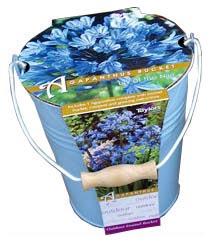 Agapanthus Outdoor Growing Kit