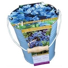 Agapanthus Outdoor Growing Kit