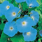 Ipomoea Heavenly Blue (rubro-coerulea) Seeds